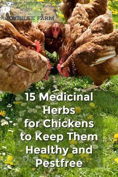 Grow these 15 herbs for chickens near the chicken coop They will improve immunity keep them parasite free reduce their stress and prevent boredom Healthy happy chickens l. Herbs For Chickens, Raising Backyard Chickens, Keeping Chickens, Pet Chickens, Backyard Farming, Urban Chickens, Treats For Chickens, Nesting Boxes For Chickens, Chicken Garden
