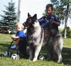 Image result for shiloh shepherd Shiloh Shepherd, Husky, Dogs, Image, Animals, Animales, Animaux, Pet Dogs, Doggies