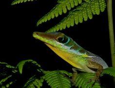 Anolis barahocuensis, macho, de los mas bellos lagartos endémicos  de la Isla