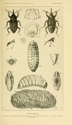 A manual of dangerous insects likely to be introduced in the United States through importations (1918)