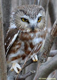 Saw-whet owl Windsor Ontario