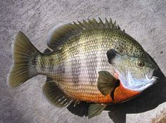 Bream Fishing in Georgia | Big Bream mount - Georgia Outdoor News Forum
