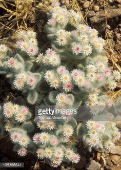 Edelweiss,Flower,Kaokoveld