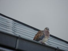 turtle dove (isle of Ré)