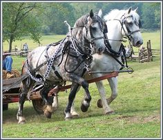 Percheron team <3 My dream is to drive a team of draft horses, and then one day OWN a team!