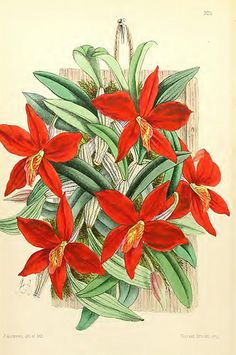 Sophronitis coccinea orchid. The Floral Magazine vol.6 (18… | Flickr