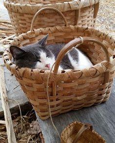 Sir Thomas Grey, Colonial Williamsburg's 'community' cat
