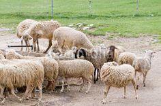 Pecore all'abbeveratoio a Castelluccio di Norcia (Umbria, Italy) - Thirsty sheep © Pietro D'Antonio