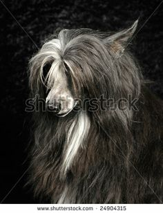 Photo of an Powder Puff Chinese Crested breed dog by B & T Media Group Inc., via Shutterstock