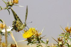 A swallowtail butterfly on yellow star thistle flower in Northern Cyprus.