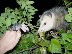 This mother opossum is grateful to have her baby returned after he fell from the tree. He still has a lot to learn.
