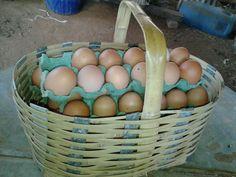 Cesta para colher os ovos.