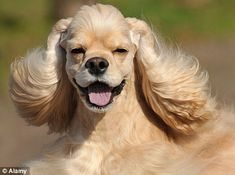 How dogs have learned to recognise the human smile American Cocker Spaniel, Cocker Spaniel Dog, Happy Animals, Cute Animals, Smiling Dogs, Bichon Frise, Doge, Pet Shop, Your Smile