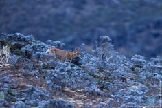 Ethiopian Wolf, young animal running, Keyrensa Valley, Ethiopia