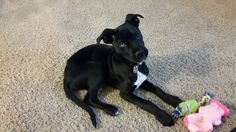 Hawk, the rescue runt of a litter of 11 pups, husky boxer mix... 3 months old here