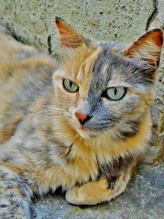 (=`ェ´=) beautiful markings on this grey and ginger cream dilute tortie cat.
