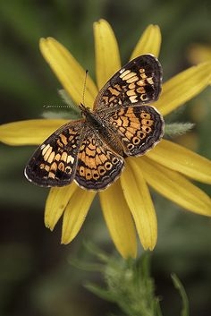 Field Crescent Butterfly