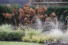 """realizacja Gardenarium w """"ogrodzie z lustrem""""   szkielet kompozycji plecy z cisa - hortensja ... trawy i płotek z bukszpana"""