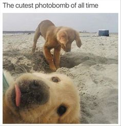 13 Pictures Of Golden Retriever Puppies That Show Just How Adorable They Are. 13 times golden retriever puppies stole our hearts Cute Funny Animals, Funny Animal Pictures, Cute Baby Animals, Funny Cute, Funny Dogs, Animals And Pets, Animal Pics, Fluffy Animals, Hilarious