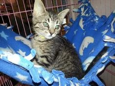 Layla is an adoptable Domestic Short Hair Cat in Watseka, IL. Layla is a sweet little girl looking for a home!...