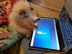 Adorable Himalayan kitten knows how to use touch screen computer fishy game :-)