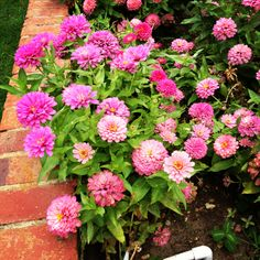 Vibrant zinnias fill the gardens of local residents in Natchez. #mississippi #flowers #zinnia