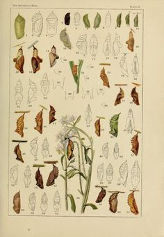 The butterfly book; - Biodiversity Heritage Library