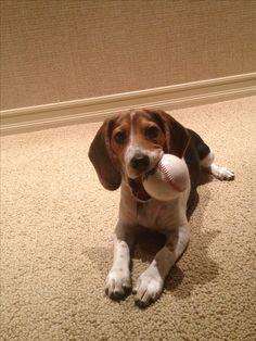 Beagle puppy loves baseball