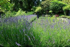 lavenders 2 - traditional - landscape - vancouver - THOMAS KYLE: Landscape Designer