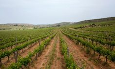 NYT article on Bozcaada vineyards - - On a Turkish Isle, Winds Tend the Vines, NYTimes.com