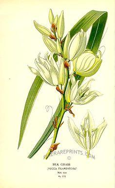 Antique print: picture of Silk Grass (Yucca filamentosa) - Peru