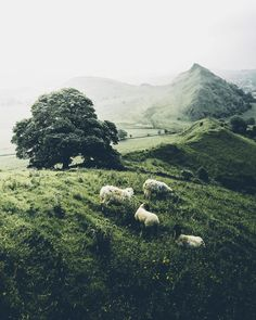 sheep and moutains