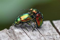 Chrysolina fastuosa, also known as the dead-nettle leaf beetle, is a species of beetle from a family of Chrysomelidae 0586 Love is in the air Photography Photos, Nature Photography, Leaf Beetle, Kinds Of Camera, Japanese Beetles, How To Take Photos, Cool Pictures, Insects, Art Gallery