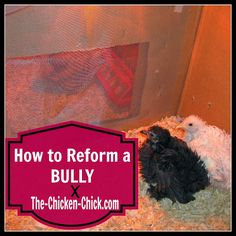 Chickens are very easily stressed and moving to a new home is one of the most stressful events a chicken can experience. Stress can have negative behavioral and physical manifestations in chickens, pecking being one of them. When chickens of any age bully other chickens, the behavior must be interrupted and the bully, reformed. This is how I reformed a brooder bully.