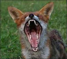 """Résultat de recherche d'images pour """"les plus belles images de renards"""""""
