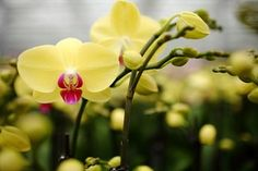 Back to the Basics with Your Phalaenopsis Orchid