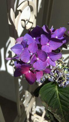 Lilac hydrangea / hortensia