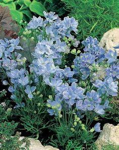 Summer-Blues-Dwarf-Delphinium-Sky-Blue-Quart-Pot-Hardy-Perennial