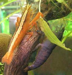 Bamboo Shrimp Gatleys Pet & Aquatic Centre, Liss www.gatleys.co ...