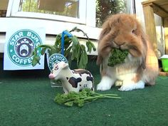 "Pimousse opened a Starbucks franchise for bunnies onlybrbrFollow his daily cute adventures on Instagram :bra href=""https://www.instagram.com/pimoussethebunny/"" rel=nofollow target=_blankhttps://www.instagram.com/pimoussethebunny//a"