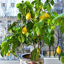 Лимон и его выращивание в домашних условиях 747