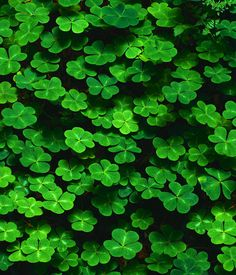 Clover -Correspondences: Beauty, Youth, Healing, Luck, 4 leaf clovers allow you to see faeries