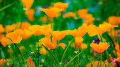 #popy #flower #flowers #ig_flowers #superb_flowers #FlowerStalking #wp_flower #floral_splash