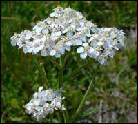 Kasvien tunnistustehtäviä Achillea Millefolium, Finland, Scenery, Nature, Plants, Animals, Life, Naturaleza, Animales