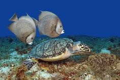 Uno de los paisajes subacuáticos más interesantes de #Mexico, y del mundo, se encuentra en #Cozumel. Imagínate buceando, rodeado de especies acuáticas con el azul marino de fondo, un paisaje diferente y soñado.