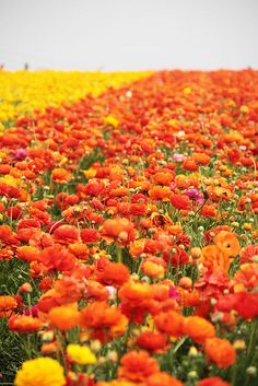 IMG_4158 by mealisab, via Flickr  The flower fields, Carlsbad, CA