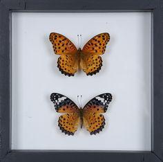 Stunning Mounted Butterflies | Framed Butterflies 12-071