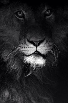 B/W leão
