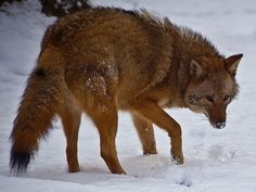 """""""People living in Eastern Canada and U.S. are probably familiar with the smart, adaptable wild canine that lives in their forests, neighborhood parks and even cities. What they may not know is that eastern coyotes aren't true coyotes at all. They might better be known as hybrids, or coywolves."""""""