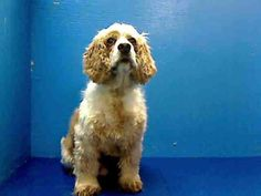 SAFE - SAFE 11/10/13  Pulled by Abandoned Angels Cocker Spaniel Rescue  Please honor your pledges:  http://www.nyabandonedangels.com/#!donate/ctzx  Brooklyn Center   BRUNO - A0983559   NEUTERED MALE, RED / WHITE, COCKER SPAN, 9 yrs  SEIZED - EVALUATE, HOLD FOR DISASTER Reason PERS PROB  https://www.facebook.com/media/set/?set=a.703530339659848.1073742596.152876678058553&type=3#!/photo.php?fbid=698418523504363&set=a.703530339659848.1073742596.152876678058553&type=3&theater